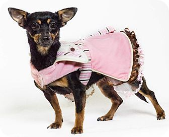 Manchester Terrier Mix Dog for adoption in Yelm, Washington - Capri