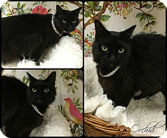Domestic Mediumhair Cat for adoption in Joliet, Illinois - Orchid