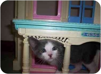 Domestic Shorthair Kitten for adoption in Cocoa, Florida - SeaStar