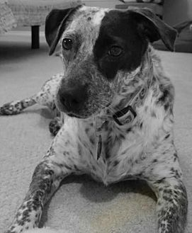 Australian Cattle Dog Mix Dog for adoption in Denver, Colorado - Lennox
