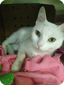 Domestic Shorthair Cat for adoption in Oak Park, Illinois - Vanessa