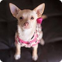 Adopt A Pet :: Sweet Honey-ADOPT Me! - Redondo Beach, CA