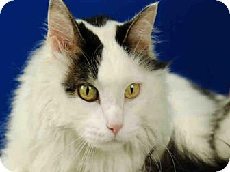 Domestic Mediumhair Cat for adoption in Fort Collins, Colorado - SAMMY