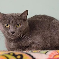 Domestic Shorthair Cat for adoption in Atlanta, Georgia - Boris 131208