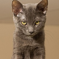Adopt A Pet :: Othello - Fountain Hills, AZ