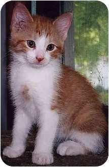 Domestic Shorthair Kitten for adoption in Owatonna, Minnesota - Lapirus