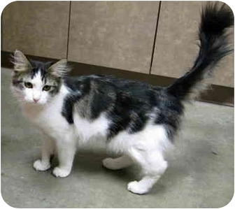 Domestic Shorthair Cat for adoption in Overland Park, Kansas - Alexis