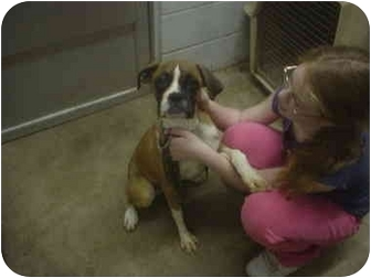 Boxer Dog for adoption in Eaton, Indiana - Noah