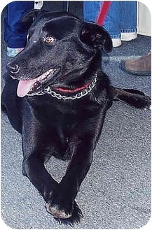 Labrador Retriever Mix Dog for adoption in Owatonna, Minnesota - Sarie