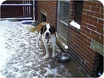 St. Bernard Dog for adoption in Detroit, Michigan - Phoebe