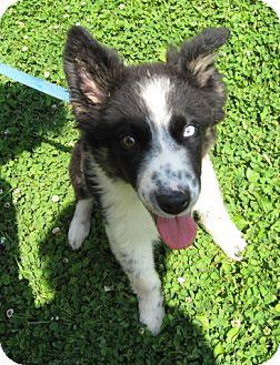 Australian Shepherd/Border Collie Mix Puppy for adoption in Oswego, Illinois - I'M ADPTD Peanut Btr Costanza