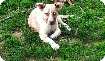 Spaniel (Unknown Type)/Feist Mix Puppy for adoption in Hartford, Connecticut - Ivy
