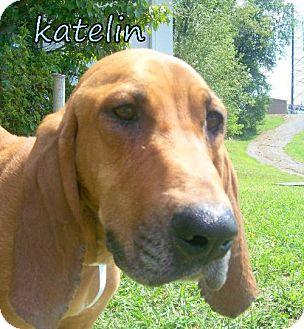 Bloodhound/Redbone Coonhound Mix Dog for adoption in Georgetown, Kentucky - Katelin