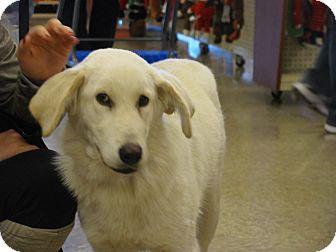Australian Shepherd/Shepherd (Unknown Type) Mix Dog for adoption in Hohenwald, Tennessee - Snowey