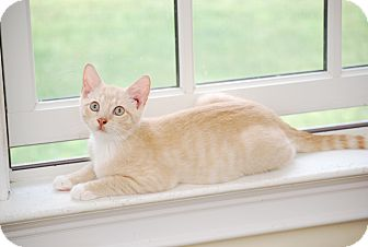 Domestic Shorthair Kitten for adoption in Trevose, Pennsylvania - Buff