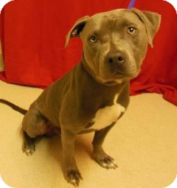 Pit Bull Terrier Mix Dog for adoption in Gary, Indiana - Larry