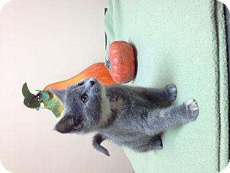 Domestic Mediumhair Kitten for adoption in Franklin, Indiana - Marigold
