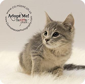 Domestic Shorthair Kitten for adoption in Troy, Ohio - Violet