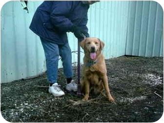 Golden Retriever Mix Dog for adoption in Kellogg, Idaho - Willow