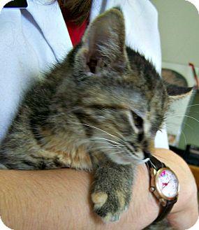 Domestic Shorthair Kitten for adoption in Toledo, Ohio - Sweetie