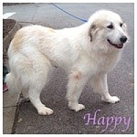 Great Pyrenees Dog for adoption in Newnan, Georgia - Happy