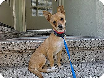 Chihuahua Mix Dog for adoption in Sunnyvale, California - Amber