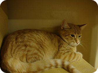 Domestic Shorthair Cat for adoption in Rochester, Minnesota - Cheeto