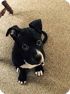 American Pit Bull Terrier Mix Puppy for adoption in South Park, Pennsylvania - Niko