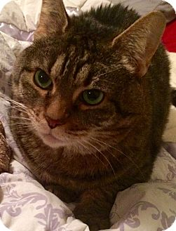 Domestic Shorthair Cat for adoption in Weare, New Hampshire - Apple Blossom