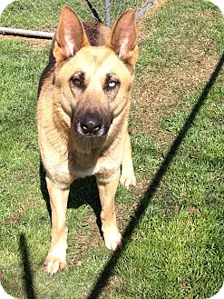 German Shepherd Dog Dog for adoption in Houston, Texas - Kara