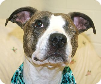 Boxer/Pit Bull Terrier Mix Dog for adoption in Cincinnati, Ohio - Serendipity