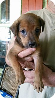 Labrador Retriever/Australian Cattle Dog Mix Puppy for adoption in Somers, Connecticut - Hershey
