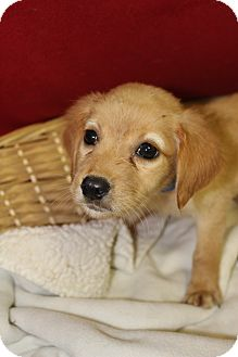 Black Mouth Cur Mix Puppy for adoption in Waldorf, Maryland - Aladdin