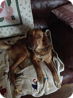 Golden Retriever/Labrador Retriever Mix Dog for adoption in Schaumburg, Illinois - Summer