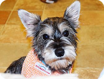 Schnauzer (Miniature) Mix Dog for adoption in Hazard, Kentucky - Scrappy