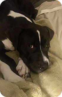 Boxer/Labrador Retriever Mix Dog for adoption in Waterbury, Connecticut - DAGWOOD