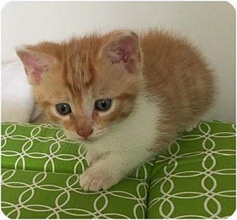 Domestic Shorthair Kitten for adoption in Evans, West Virginia - Landon