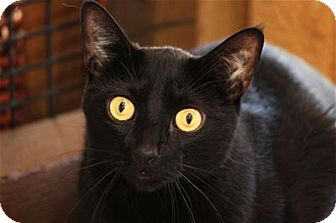 Domestic Shorthair Cat for adoption in Lincoln, California - Charlie