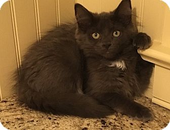 Maine Coon Kitten for adoption in Randolph, New Jersey - Wally - it's a girl!