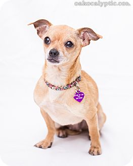 Chihuahua Mix Dog for adoption in Oakland, California - Betty