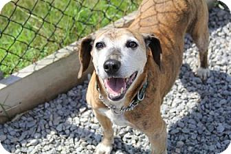 Beagle/Boxer Mix Dog for adoption in Port Hope, Ontario - Marvin