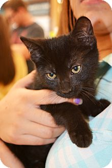 Domestic Shorthair Kitten for adoption in Ogden, Utah - Pookie