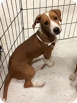 Boxer Mix Puppy for adoption in East Hartford, Connecticut - BLondie 1 in CT