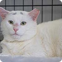 Adopt A Pet :: Packard - Merrifield, VA