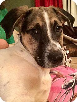 Labrador Retriever Mix Puppy for adoption in Hayes, Virginia - Roxy Boy 5