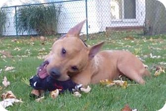 Terrier (Unknown Type, Medium) Mix Dog for adoption in Toledo, Ohio - Katie