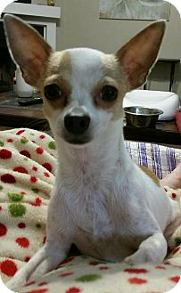 Chihuahua Mix Dog for adoption in Mount Pleasant, South Carolina - Destiny (Available Feb 2017)