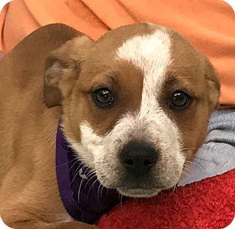 Labrador Retriever/Boxer Mix Puppy for adoption in Evansville, Indiana - Milo