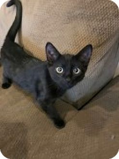 Domestic Shorthair Kitten for adoption in McHenry, Illinois - Absolem