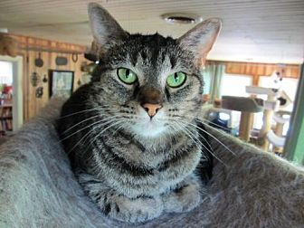Domestic Shorthair Cat for adoption in Colonial Beach, Virginia - Mary